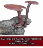 Nấm Lim Xanh Hồng Chi
